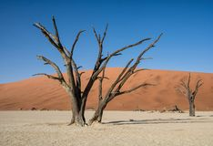 Deadvlei Trees. Deadvlei in Namibia is a flat clay pan characterized by dark, dead camel thorn trees contrasted against the white pan floor royalty free stock photography