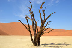 Deadvlei. Is a white clay pan located near the more famous salt pan of Sossusvlei, inside the Namib-Naukluft Park in Namibia Royalty Free Stock Photography