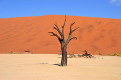 Deadvlei. Is a white clay pan located near the more famous salt pan of Sossusvlei, inside the Namib-Naukluft Park in Namibia Stock Photo