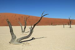 Deadvlei in de Namib Desert in Namibia. Deadvlei is a white clay pan located near the more famous salt pan of Sossusvlei, inside the Namib-Naukluft Park in Stock Image