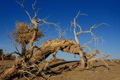 Deadwood. Dead tree in the desert stock photos