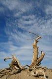 Deadwood. Dead tree in the desert royalty free stock image