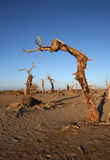Deadwood. Dead Populus tree in the desert Royalty Free Stock Photography