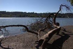 Deadwood on beach. Driftwood on rocky shore in Washington stock photo