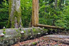 Deadwood in beech-fir forest reserve Stock Photos