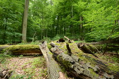 Deadwood in a beech forest Royalty Free Stock Photography