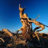 Deadwood in de ochtend Royalty-vrije Stock Afbeelding