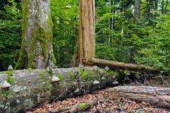 Deadwood en reserva del bosque del haya-abeto fotos de archivo