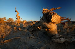 Deadwood in the morning. Poplar in the first sun rays in the morning。 deadwood stick Stock Image