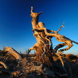 Deadwood in the morning. Poplar in the first sun rays in the morning Royalty Free Stock Image