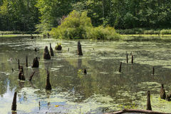 Deadwood in a Pond. Stumps of trees in a pond surrounded by woods Royalty Free Stock Photos