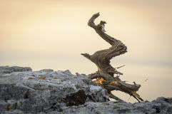 Deadwood Royalty Free Stock Image