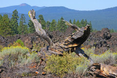 deadwooden arkivbild