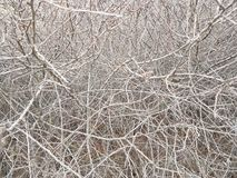 Deaf thickets of shrubs. Texture and background of gray dry branches. Impassable slums of wood. Natural fencing. Deaf thickets of shrubs. Texture and background stock photos
