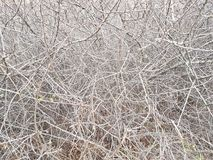 Deaf thickets of shrubs. Texture and background of gray dry branches. Impassable slums of wood. Natural fencing. Deaf thickets of shrubs. Texture and background royalty free stock photos