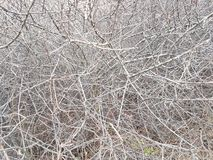 Deaf thickets of shrubs. Texture and background of gray dry branches. Impassable slums of wood. Natural fencing.  royalty free stock photos