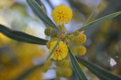 Dealbata amarillo del acacia Foto de archivo libre de regalías