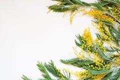 Dealbata del acacia conocido como el zarzo de plata, el zarzo azul y mimosa en el fondo blanco Fotos de archivo libres de regalías