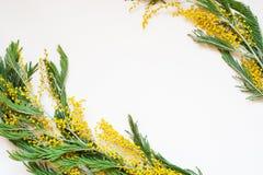 Dealbata del acacia conocido como el zarzo de plata, el zarzo azul y mimosa en el fondo blanco Fotografía de archivo