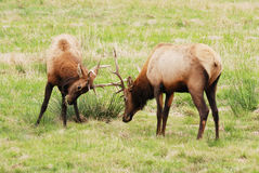 Dean Elk Royalty Free Stock Image
