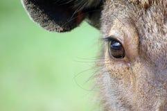 Dear. Close up of the eye dear Royalty Free Stock Image