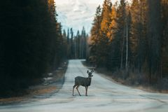 Dear crossing Bow Valley Parkway between Banff and Lake Louise, National Park, Travel Alberta, Canadian Rockies, wildlife of. Canada, North America stock photography