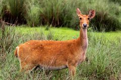 Dear deer tiger reserve madhya pradesh royalty free stock photography