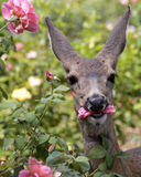 Dear Eats Rose. A Mule Deer doe munching on the petals of a pink rose Royalty Free Stock Image