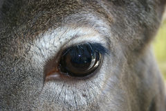 Dear Eye. Up Close with Deer Eye Royalty Free Stock Image