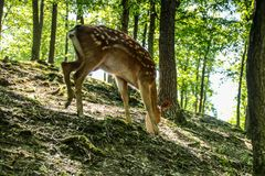Dear and Fawn in a Forest Royalty Free Stock Images
