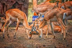 Dear fight. Baby deer fight in banagatta national park with lot of deer in background stock photo