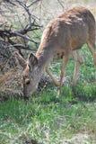 Dear grazing outdoors. Stock Photo