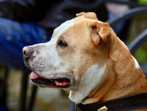Dear head of american staffordshire terrier. Dear and loyal American Staffordshire Terrier who likes people`s company stock photography