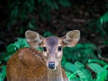 Dear portrait in nature, dear head with eye contact on blurry shallow green grass and tree background, Wildlife animal. Dear portrait in nature, dear head with royalty free stock image