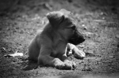 Dear puppy jet returning his master from work royalty free stock image