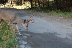 Dear is ready to fight to cross the road. Dear is crossing the road in Yosemite National Park Stock Images