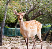 Dear showing tongue. Sika deer in the park on trees background showing tongue Royalty Free Stock Images