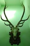 Dear skull. Giant dear skull on green wall Stock Images
