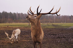 Dear stag in nature stock images