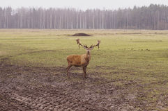 Dear stag in nature Stock Photography
