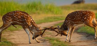 Dear. Two cutie were  fighting  with each other for dominance Royalty Free Stock Photo