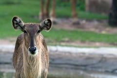 Dear in zoo. A dear is standing in meadow Royalty Free Stock Photography