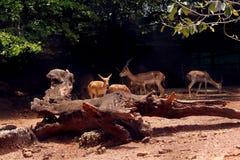 Dears en parc national de cerfs communs, Indida photo stock