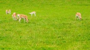 Dears in grassland Stock Image