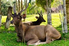 Dears at natural Royalty Free Stock Photos