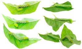 death& x27绿色毛虫; s在二朝向在绿色叶子的hawkmoth 免版税库存照片
