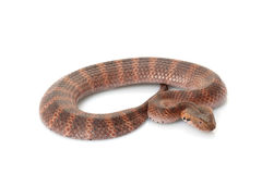 Death adder. (Acanthophis) isolated on white background stock images
