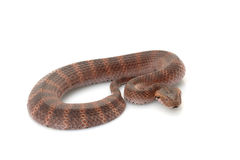Death adder. (Acanthophis) isolated on white background stock photo