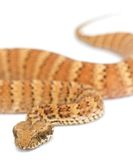 Death Adder isolated on White. Background Royalty Free Stock Images