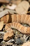 Death Adder sitting in leaves Royalty Free Stock Photo